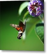 Hummingbird Hawk Moth - Five Metal Print
