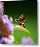 Hummingbird Hawk Moth - Four Metal Print