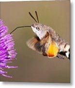 Hummingbird Hawk-moth  Metal Print