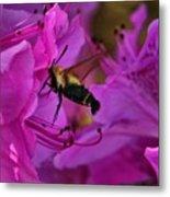 Hummingbird Moth On Azalea Metal Print