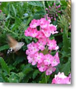 Hummingbird Moth On Pink Verbena Metal Print
