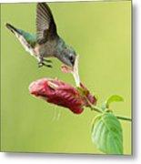 Hummingbird Nose Dive Metal Print