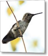 Hummingbird On Tightrope Metal Print