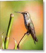 Hummingbird Perched II Metal Print