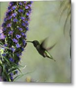 Hummingbird Sharing Metal Print