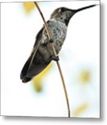 Hummingbird Tongue Metal Print