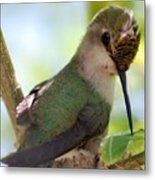 Hummingbird With Small Nest Metal Print