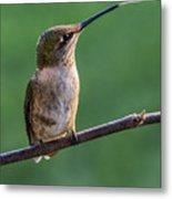Hummingbird's Quick Tongue Metal Print