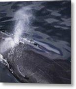 Humpback Whale Blowing Metal Print