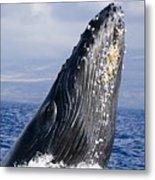 Humpback Whale Breaching Metal Print