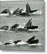 Humpback Whale Bubble-net Feeding Sequence X5 V2 Metal Print