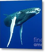 Humpback Whale Calf Metal Print