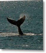 Humpback Whale Lifts Its Fluke. I Metal Print