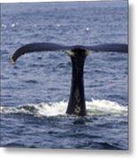 Humpback Whale Swimming Metal Print