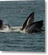 Humpback Whales Megaptera Novaeangliae Metal Print