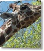 Hungry Giraffe Metal Print