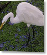 Hungry Great Egret Metal Print