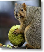 Hungry Squirrel 1 Metal Print