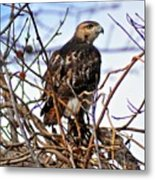 Hunting Red-tailed Hawk Metal Print