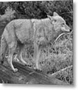Hunting With Ears Back Black And White Metal Print