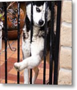 Husky Leo Focused Metal Print