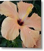 Hybiscus After The Rain Metal Print