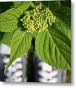Hydrangea And My Sneakers Metal Print