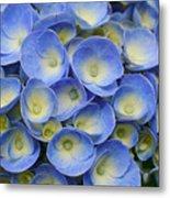 Hydrangea Closeup Metal Print