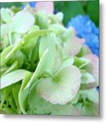 Hydrangea Flowers Art Prints Floral Gardens Gliclee Baslee Troutman Metal Print