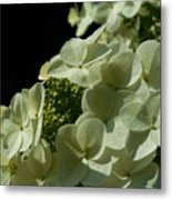 Hydrangea Formal Study Portrait Metal Print