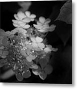 Hydrangea In Black And White Metal Print