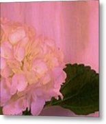 Hydrangea In Pink Metal Print