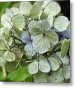 Hydrangea  In Purple And Pale Yellow Metal Print