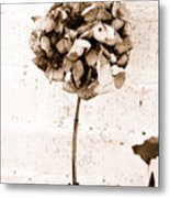 Hydrangea Interest Metal Print