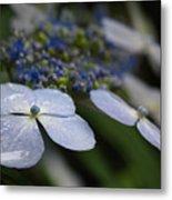 Hydrangea Macrophylla Metal Print
