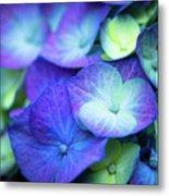 Hydrangea - Purple And Green Metal Print