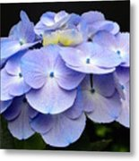 Hydrangeas In Purple Metal Print