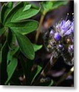 Hydrophyllum Capitatum Metal Print