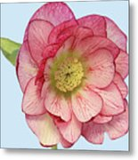 I Am Christmas Rose Metal Print