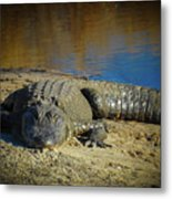 I Am Gator, No. 60 Metal Print
