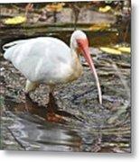 Ibis At Corkscrew Swamp Metal Print