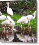Ibis Reflections Metal Print