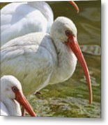 Ibis Three Metal Print