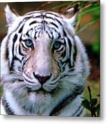 Ice Blue Eyes Of The Tiger Metal Print