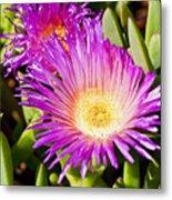 Ice Plant Blossom Metal Print by Kelley King