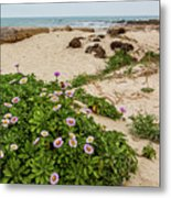 Ice Plant Booms On Pebble Beach Metal Print