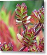 California Red Tip Crassula Ovata Jade Plant Metal Print