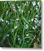 Iceblue Squill Metal Print