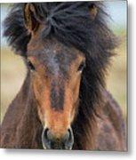 Icelandic Equine Beauty.. Metal Print