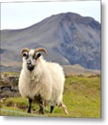 Icelandic Sheep Metal Print